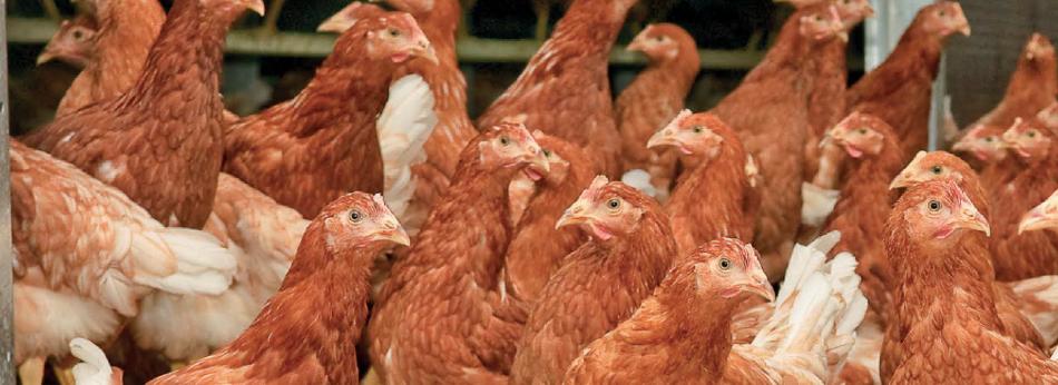 vendita-galline-ovaiole
